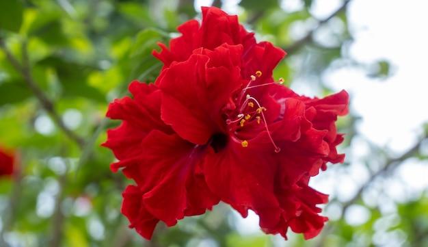 Rosa chinesa de perto, flor na cor vermelha do jardim, natureza de fundo da flora