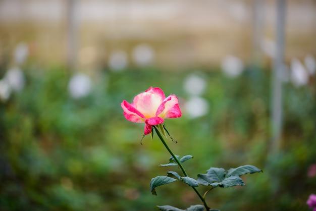 Rosa com botões em um jardim de flor romântico.