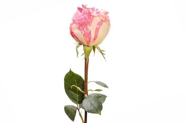 Rosa com pétalas rosa-amarelas isoladas em um fundo branco