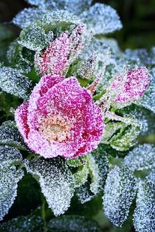 Rosa congelada polvilhada com a primeira neve do inverno