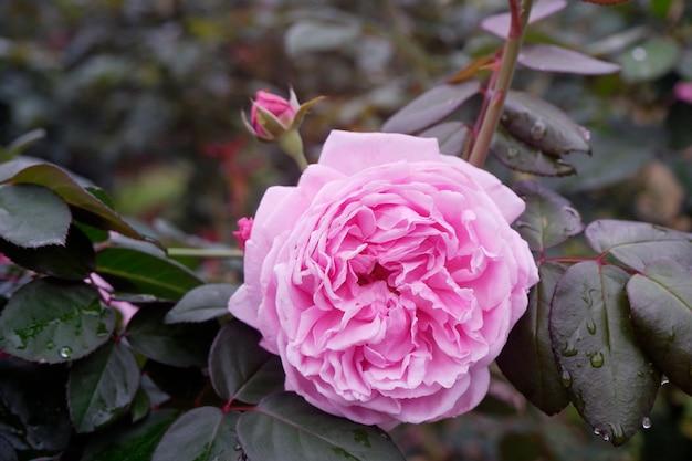 Rosa de florescência bonita do rosa do close-up no jardim.