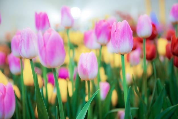 Rosa de tulipas com colorido no jardim.