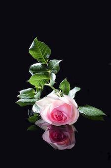 Rosa de vime inglesa da variedade eden com gotas de chuva nas pétalas em um vidro preto com reflexo