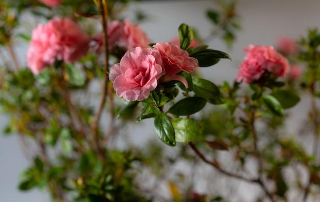 Rosa decorativa em um fundo branco