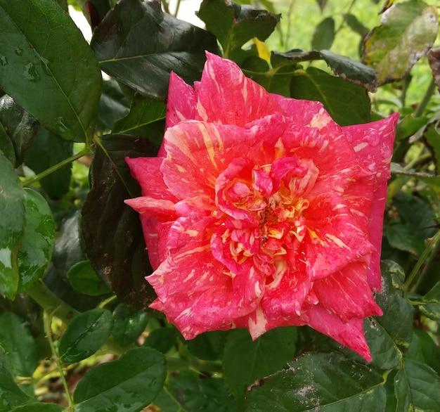Rosa diferente