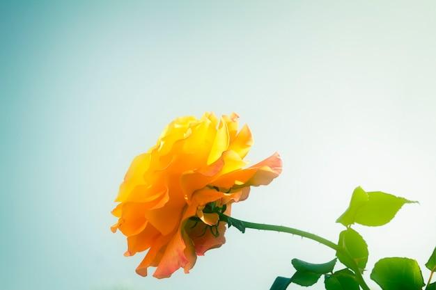 Rosa do jardim no fundo do céu azul, em tons retrô