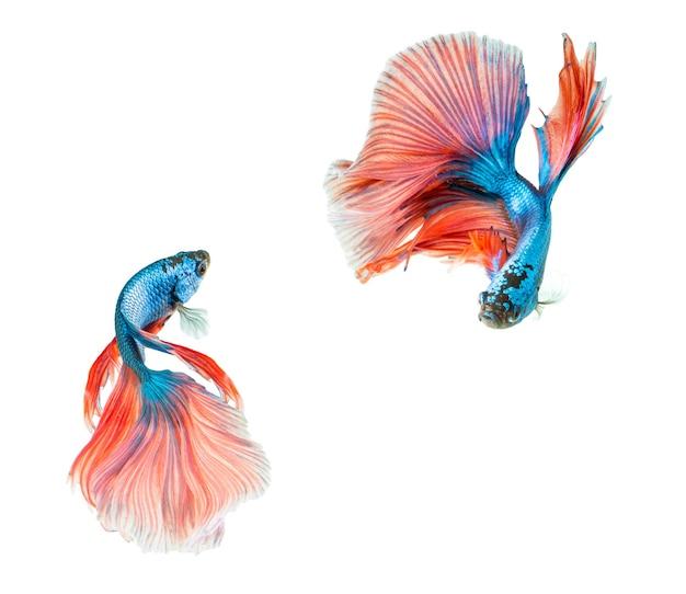 Rosa e azul meia lua betta splendens ou peixe-lutador-siamês isolado no fundo branco.