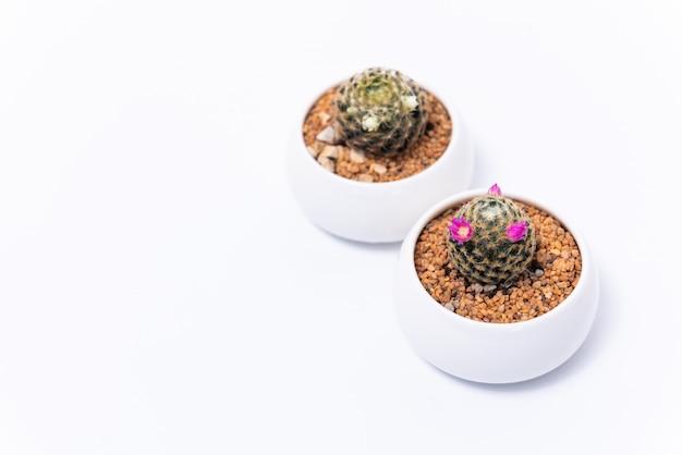 Rosa e branco de mammillaria plumosa cactus em fundo branco