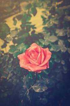 Rosa e luz suave no jardim com tom vintage.