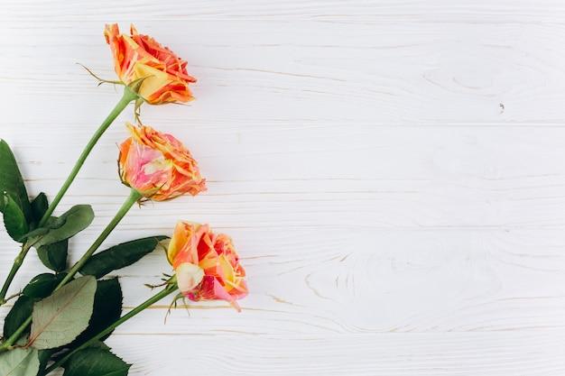 Rosa em cores amarelas e vermelhas sobre um fundo de madeira branca