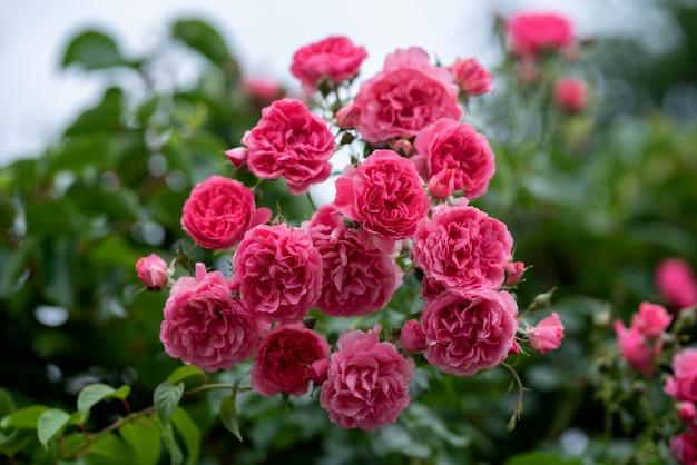 Rosa escalando roseiras no jardim