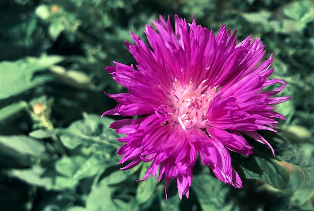 Rosa flores verdes jardim centáurea roxo fundo verde luz do sol
