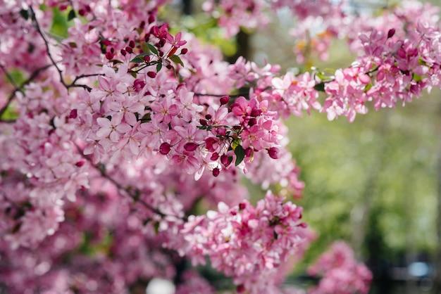 Rosa florescendo macieira no jardim primavera. indústria agrícola.