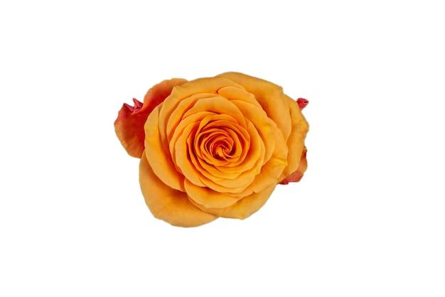 Rosa laranja isolada em uma superfície branca. vista do topo.