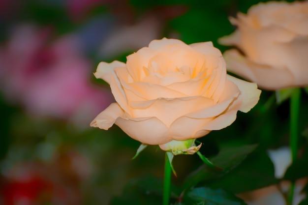 Rosa laranja. natural de rosas