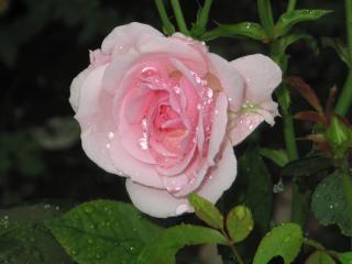 Rosa, molhada