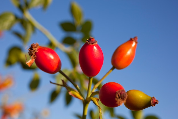 Rosa mosqueta dos arbustos