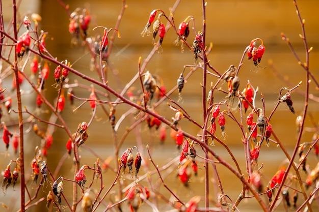 Rosa mosqueta frutas nos galhos