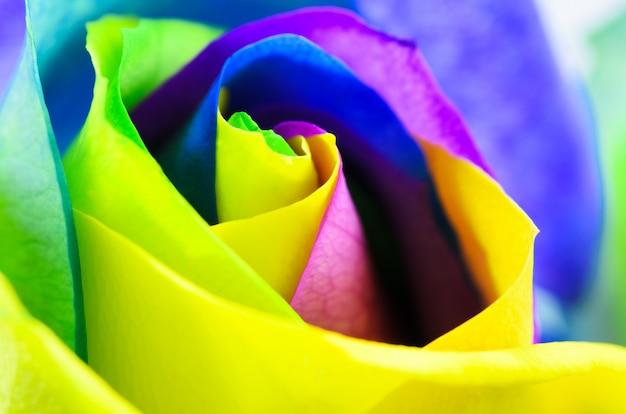 Rosa muito bonita multicolorida. close-up de botão de rosa.