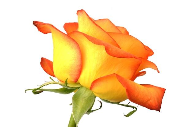 Rosa na superfície branca, cor amarela framboesa