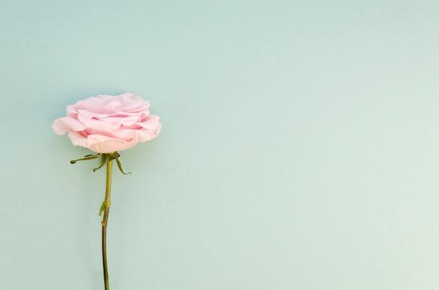 Rosa natural com espaço de cópia