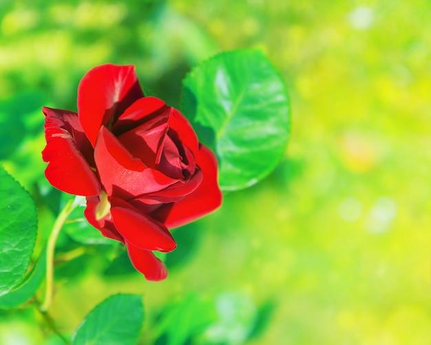 Rosa natural da flor vermelha em fundo verde turva. foco suave. copie o espaço. lugar livre para texto. uma rosa vermelha florescendo. rosa aberta para cartão postal.