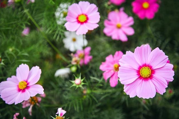 Rosa plantas natureza jardim cosmos flor cosmea