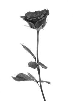 Rosa preta sobre o espaço em branco
