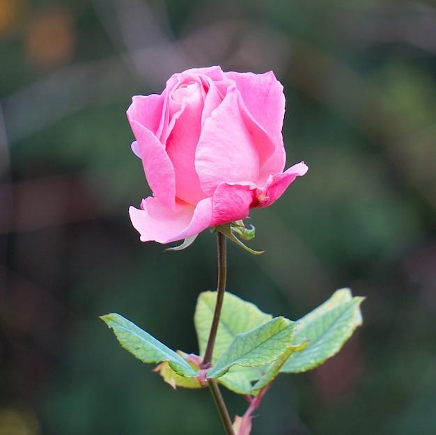 Rosa romântica rosa no jardim