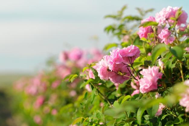 Rosa rosa arbusto closeup no campo
