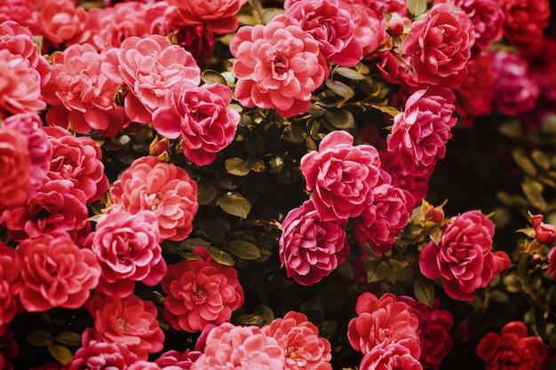 Rosa rosa arbustos florescendo jardim verão