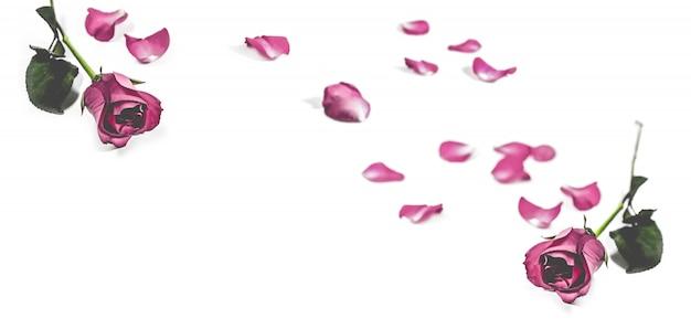 Rosa rosa com folhas isoladas em branco