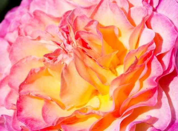 Rosa rosa com sombra
