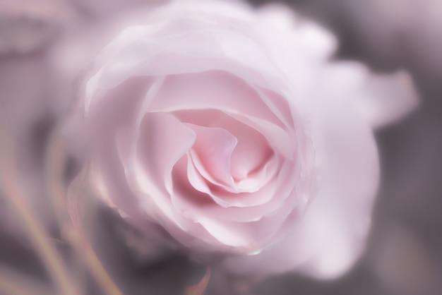 Rosa rosa como pano de fundo
