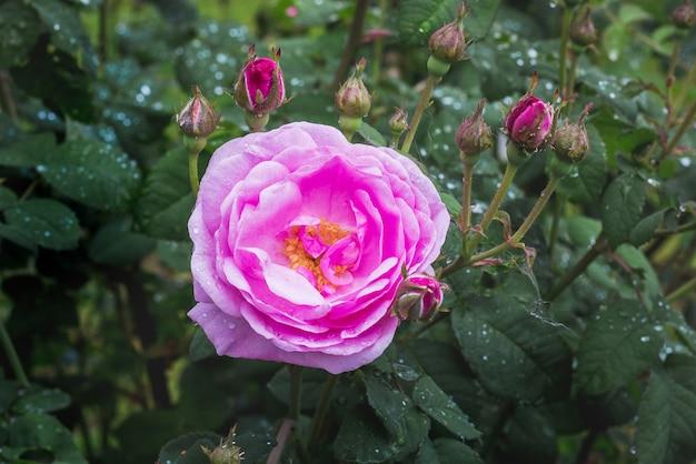 Rosa rosa e botões com gotas de chuva nos arbustos