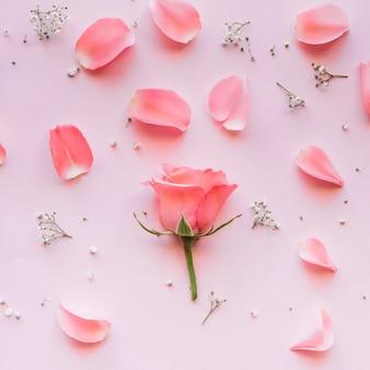 Rosa rosa e pétalas delicadas