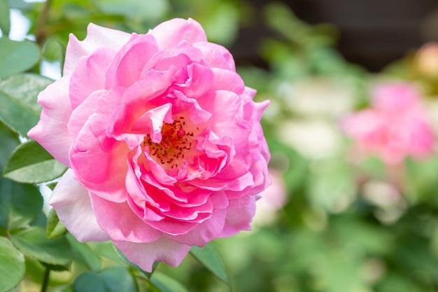 Rosa rosa, em flor, entre a luz do sol brilhante e fundo de folhas verdes, em estilo desfocado suave, ponto de foco selecionado, espaço de cópia.