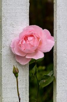 Rosa rosa florescendo através de uma cerca de madeira branca