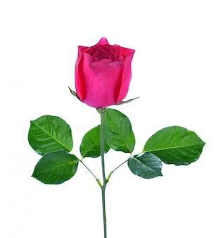 Rosa rosa isolado