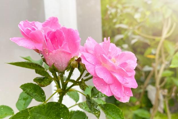 Rosa rosa no jardim verde. para o dia dos namorados.