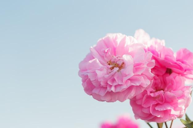 Rosa roseira closeup na superfície do campo