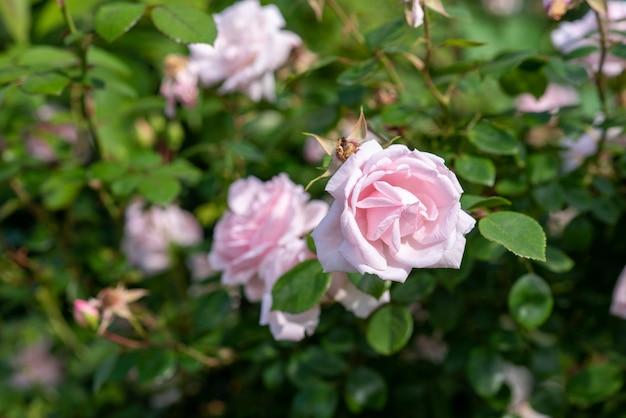 Rosa roseira no jardim.