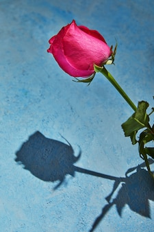 Rosa roxa com sombra dura sobre um fundo azul.