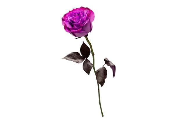 Rosa roxa isolada em uma superfície branca. vista do topo.