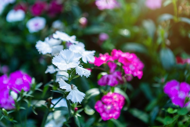 Rosa roxo da flor do cravo-da-índia de bonito colorido na natureza da grama verde em um jardim da mola.