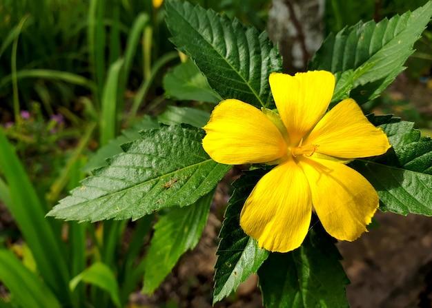 Rosa-sálvia ou azevinho das índias ocidentais no jardim
