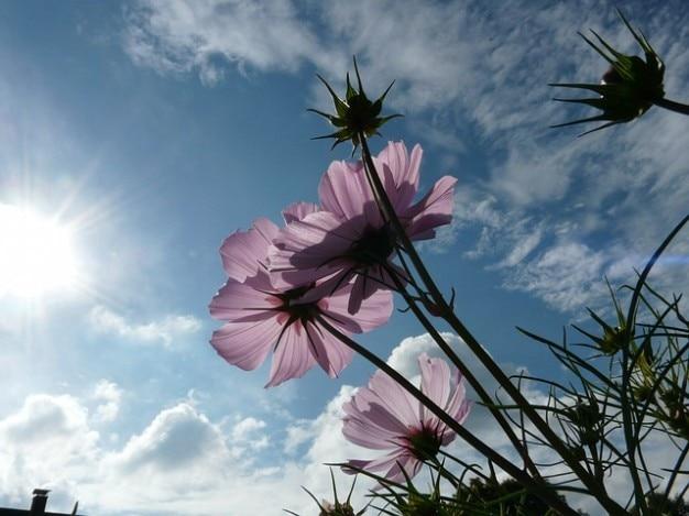 Rosa translúcido luz céu nuvens flor cosmea