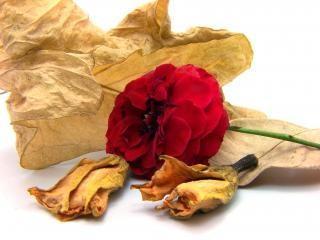 Rosa vermelha, a vida
