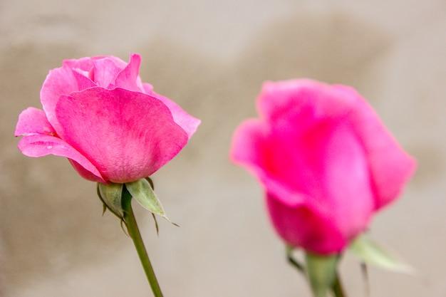Rosa vermelha brasileira