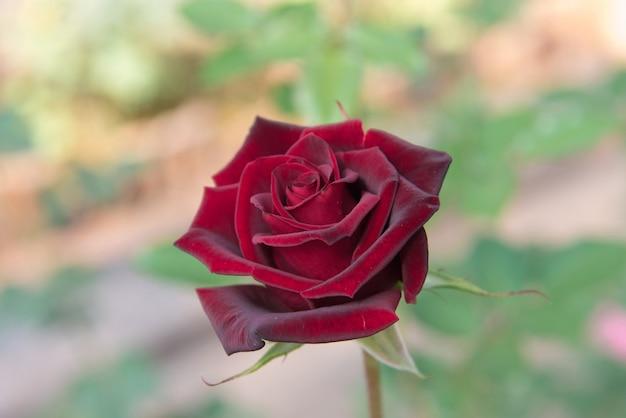 Rosa vermelha com botões e fundo verde arbusto